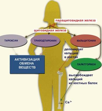 Щитовидную железу справедливо считают «зажигалкой» организма из-за влияния ее на многие органы и процессы