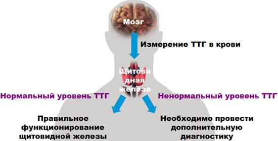 Значение уровня тиротропина в диагностике заболеваний щитовидной железы