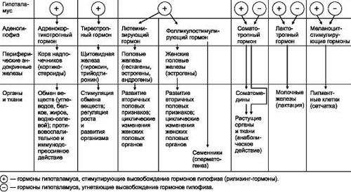 Низкий ттг и половую функцию и сперматогенез