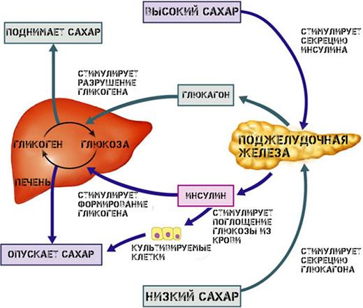 Основные гормоны поджелудочной железы человека: общая ...