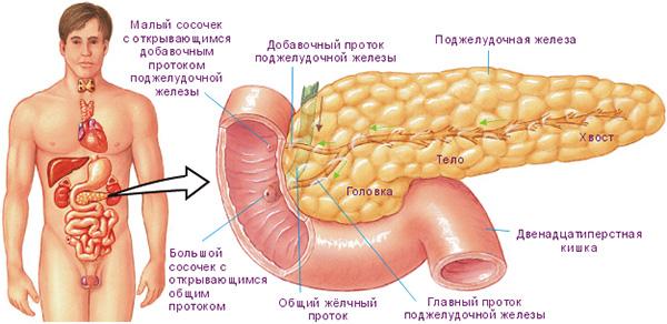 Располагается поджелудочная железа в области эпигастрия, окруженная двенадцатиперстной кишкой. В анатомическом строении выделяют головку, тело и хвост.
