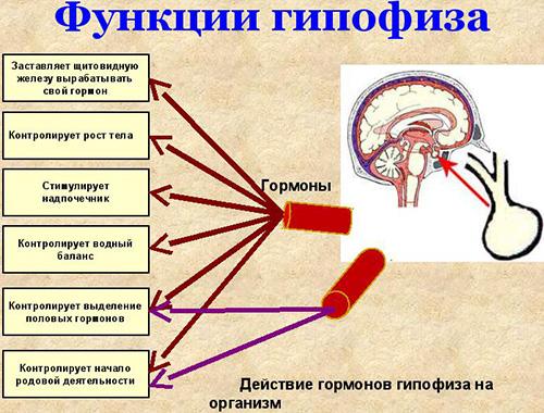Передняя часть гипофиза контролирует 6 функций, а задняя – 2. При возникновении аденомы происходит сбой выработки гормонов, что сказывается на выполнении функций органами-мишенями.