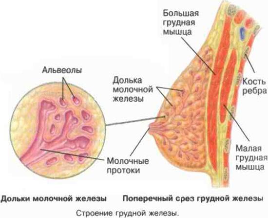 Заболевания молочной железы, их основные виды
